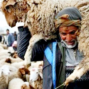 Following the vaccine that wiped out rinderpest, a new vaccine against sheep and goat plague provespromising