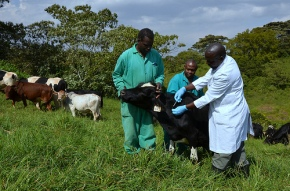 ILRI animal health scientists featured in HealthforAnimals newsletter